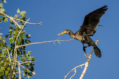 Double-Crested Cormorant Perched High in a Tree Royalty Free Stock Photography