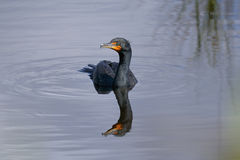 Double-crested cormorant, phalacrocorax auritus Royalty Free Stock Photography