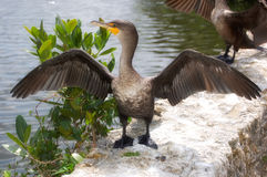 Double-crested Cormorant (Phalacrocorax auritus) Stock Images