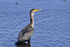 Double-crested cormorant, phalacrocorax auritus Stock Images