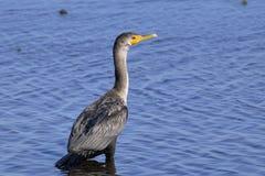 Double-crested cormorant, phalacrocorax auritus. Portrait Stock Images