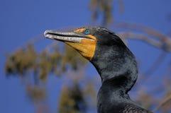 Double-crested cormorant, phalacrocorax auritus. Portrait Royalty Free Stock Images