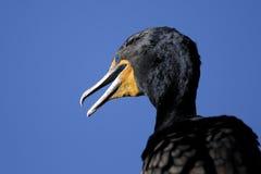 Double-crested cormorant, phalacrocorax auritus. Portrait Stock Photography