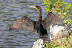 Double-crested Cormorant, Phalacrocorax auritus Royalty Free Stock Image