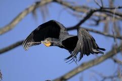 Double-crested cormorant, phalacrocorax auritus. Flying Stock Images