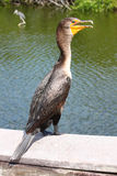 Double-crested cormorant (Phalacrocorax auritus) Royalty Free Stock Images