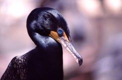 Double-crested Cormorant (Phalacrocorax auritus) Stock Photos