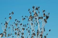 Free Double-crested Cormorant - Phalacrocorax Auritus Royalty Free Stock Photography - 76426057