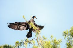 Double-crested Cormorant, Phalacrocorax auritus. Is a black fishing bird found in lakes and rivers in North America Royalty Free Stock Photo