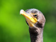 Double-crested cormorant (Phalacrocorax auritus). Close-up of a Double-crested Cormorant (Phalacrocorax auritus) in a wetland in Delray Beach, South Florida Royalty Free Stock Images
