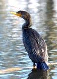 Double Crested Cormorant - Phalacrocorax auritus Stock Images