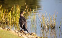 Double-crested Cormorant, Phalacrocorax auritus. Is a black fishing bird found in lakes and rivers in North America Royalty Free Stock Photography