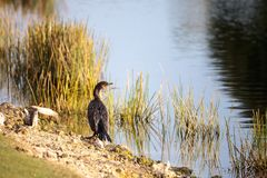 Double-crested Cormorant, Phalacrocorax auritus. Is a black fishing bird found in lakes and rivers in North America Royalty Free Stock Photos