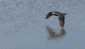 Double-crested Cormorant, Phalacrocorax auritus Stock Photography