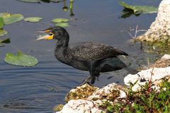 Double-crested Cormorant (Phalacrocorax auritus) Stock Image