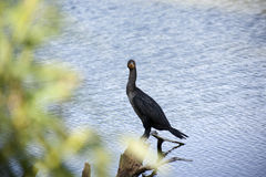 Double-crested Cormorant (Phalacrocorax auritus) in the Florida Everglades. Stock Photo