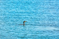 Double-crested Cormorant Phalacrocorax Auritus. Minimalistic Image of Double-crested Cormorant Phalacrocorax Auritus Swimming in Black Sea Stock Photo