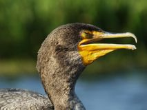 Double-Crested Cormorant (Phalacrocorax auritus). Portrait of a Double-Crested Cormorant Stock Photo
