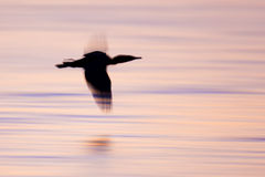 Double crested Cormorant (Phalacrocorax auritus) silhouette in flight Royalty Free Stock Photo