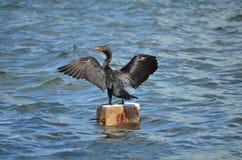 Double-Crested Cormorant (Phalacrocorax auritus) Stock Photography