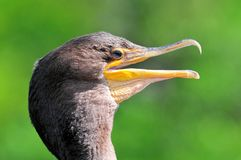 Double-crested cormorant portrait. Close-up of a Double-crested Cormorant (Phalacrocorax auritus) in wetlands in Delray Beach, South Florida Royalty Free Stock Images