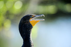 Double Crested Cormorant. Profile of a Double Crested Cormorant Stock Images