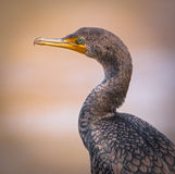 Double Crested Cormorant Profile Royalty Free Stock Photo