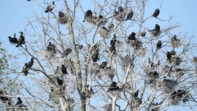 A Double-crested Cormorant Rookery in a Tree