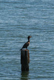 Double-crested Cormorant Shore Bird Royalty Free Stock Images