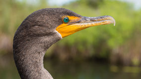 Double-crested cormorant Royalty Free Stock Images