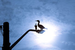 Double Crested Cormorant Silhouette. Silhouette of Double Crested Cormorant rests on light pole Royalty Free Stock Image