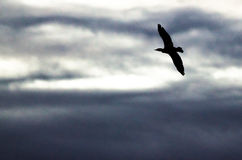 Double-Crested Cormorant Silhouetted in the Evening Sky As It Flies. Double-Crested Cormorant Silhouetted in the Darkening Evening Sky As It Flies Royalty Free Stock Image