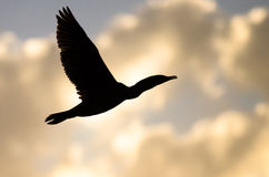 Double-Crested Cormorant Silhouetted in the Sunset Sky As It Flies Royalty Free Stock Image
