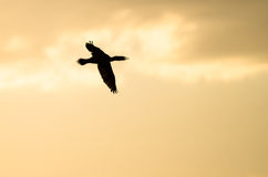 Double-Crested Cormorant Silhouetted in the Sunset Sky As It Flies. Double-Crested Cormorant Silhouetted in the Colorful Sunset Sky As It Flies Stock Photos