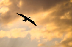 Double-Crested Cormorant Silhouetted in the Sunset Sky As It Flies Royalty Free Stock Photo