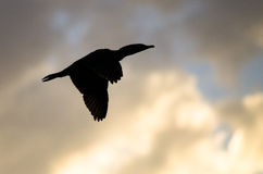 Double-Crested Cormorant Silhouetted in the Sunset Sky As It Flies Stock Photography
