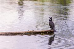 Double-crested cormorant sitting of a log in the middle of a lake stock photo