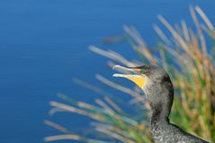 Double-crested cormorant Stock Photography