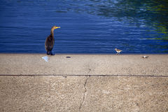 Double-crested Cormorant and Spotted Sandpiper Stock Photography