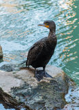 Double-crested Cormorant Stands on Rock Royalty Free Stock Photo