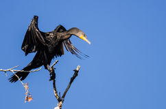 Double-Crested Cormorant Stretching Its Wings While Perched in Tall Tree Stock Photo