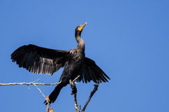 Double-Crested Cormorant Stretching Its Wings While Perched in Tall Tree Stock Image