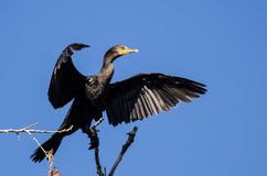 Double-Crested Cormorant Stretching Its Wings While Perched in Tall Tree Royalty Free Stock Photos