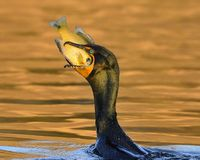 Double-crested Cormorant, Sunfish, & Sunset Stock Images