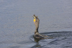 Double Crested Cormorant Swallowing a Fish Stock Photos