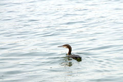 Double crested cormorant swimming Royalty Free Stock Images