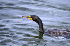 Double-crested Cormorant Royalty Free Stock Photography