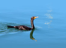 Double-crested Cormorant. A Cormorant Swimming in a Harbor stock images