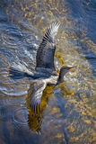 Double-crested Cormorant Swimming Wings Open Royalty Free Stock Images
