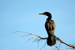 Double-crested cormorant in tree in wetlands Royalty Free Stock Images